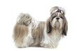 beautiful shih tzu on profile