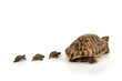 Tortue Hermann suivie de 3 bébés tortue