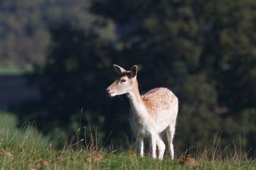 Fallow Deer Doe, Studley Park, Yorkshire Dales