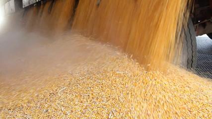 Loading Corn into the Silo