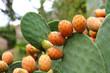 Kaktus mit Feigen