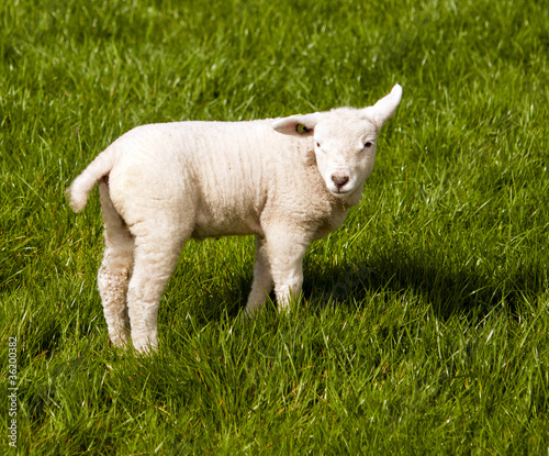 lamb on green grass