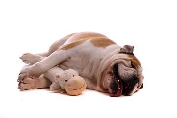Junghund englische Bulldogge geschafft kaputt