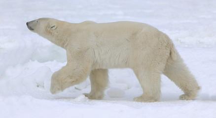 Polar bear walk.