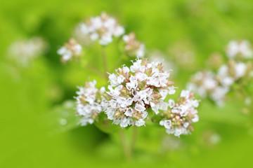 Marjoram flowers close up