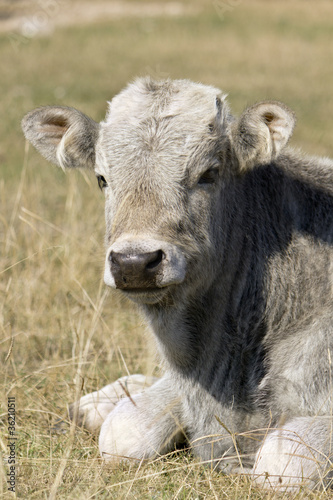 little cow on grass