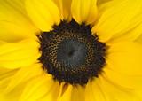 Fototapete Schönheit - Blühen - Sonnenblumen