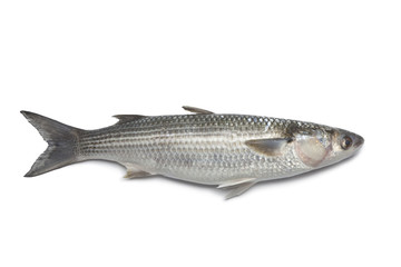 Whole fresh grey mullet