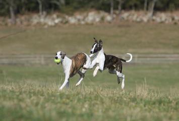 deux chiens de race whippet faisant la course