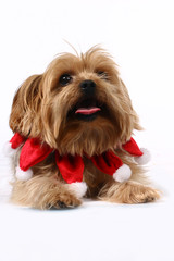 Christmas Yorkie ready for the Holidays