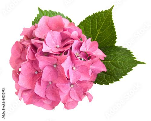 In de dag Hydrangea Pink hydrangea