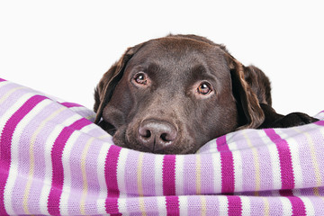 Chocolate Labrador on Pink Blanket