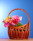 Tulips in basket on blue background