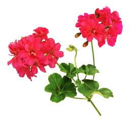 Fleurs de géranium