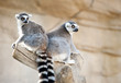 Two Ring tailed Lemur sitting in a tree