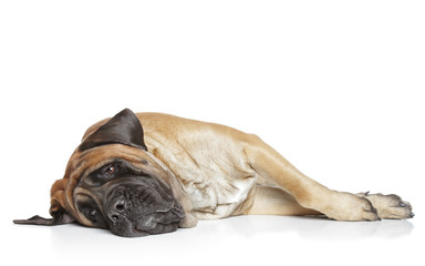 Sleepping mastiff dog