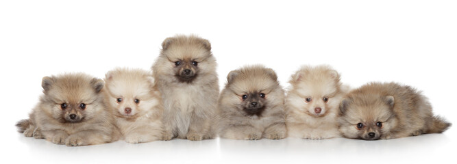 Pomeranian Puppies group