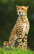 Fototapeten,afrikanisch,tier,schön,gepard