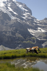 Alpine cattle by a pool with Jungfrau