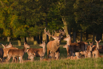 Deer Rut. Red deer stag bellowing to herd, Yorkshire Dales