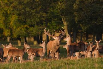 Deer Rut. Red deer stag bellowing to herd, Yorkshire Dales