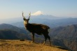 Mt.Fuji and a deer