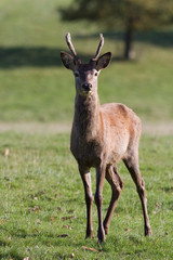 Young red deer stag with velvet covered antlers, Yorkshire Dales