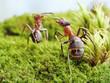 ants formica rufa,  conflict