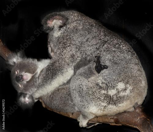 In de dag Koala two koalas