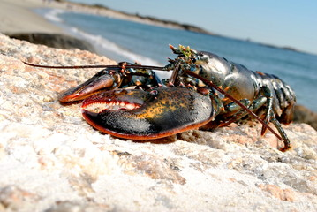 Beach Lobster