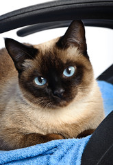 siamese cat closeup