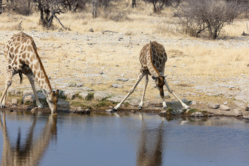 Giraffen im Etosha Nationalpark