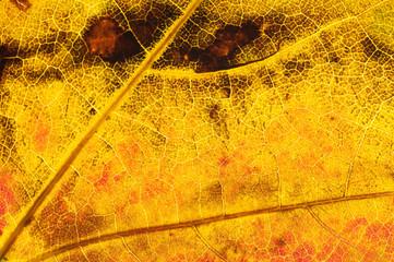 Spitzahornblatt im Herbst 1
