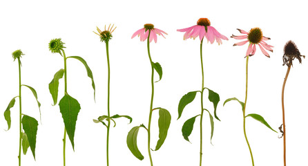 Evolution of Echinacea purpurea isolated on white background