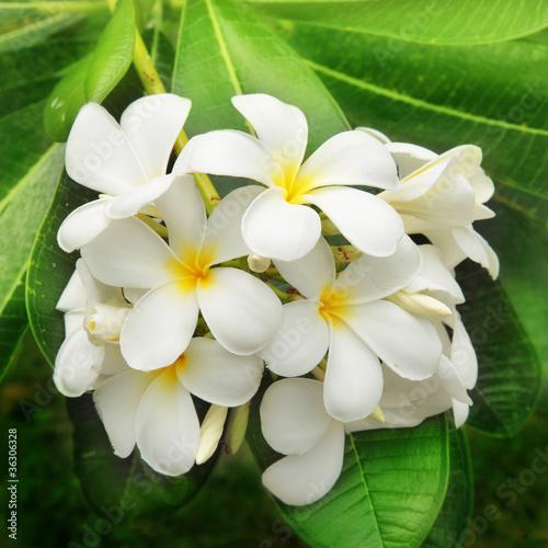 In de dag Frangipani Branch of tropical flowers frangipani (plumeria)