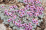 Wild flowers of high altitude, Himalayas – 5000 meters poster