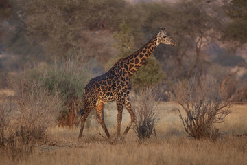 Giraffe 0962