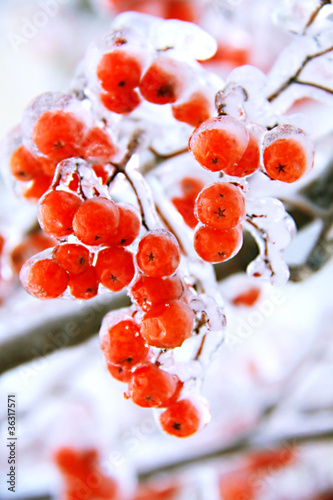 ice ashberry
