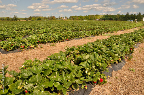 Field of Strawberries