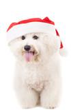 bichon frise in a santa claus hat poster