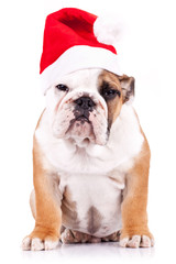 suspicious santa english bulldog puppy
