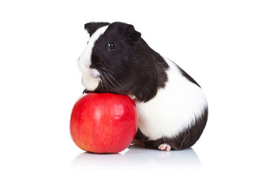 guinea pig climbing on a red apple