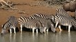 Zebras drinking water with wildebeest walking by, South Africa
