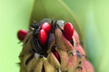 Magnolia, frutto e semi