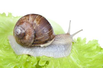 Snail on lettuce leaf, isolated on white background