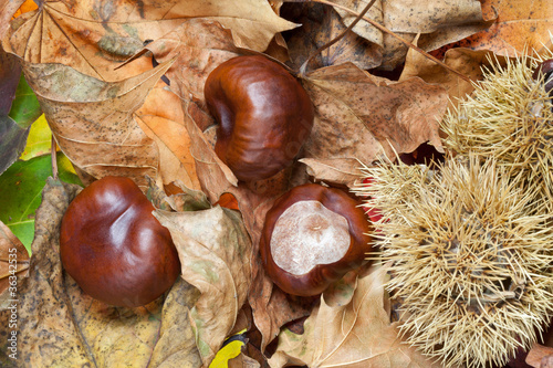 Conkers in Woodland