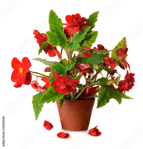 begonia in pot