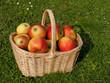 Äpfel - Malus domestica
