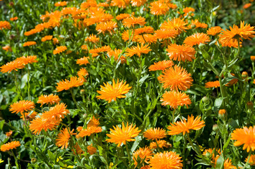 flowerbed of colorful marigolds plants