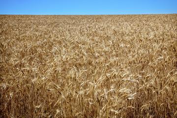 Ripe Wheat Field Blue Skies Palouse Washington State
